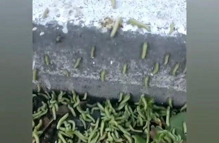 гусеницы нашествие новороссийск