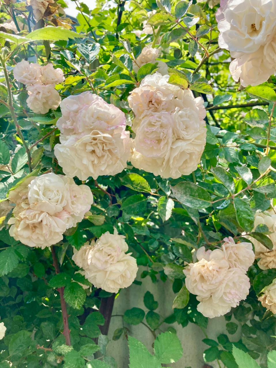 розы новороссийск цветы лето 2021